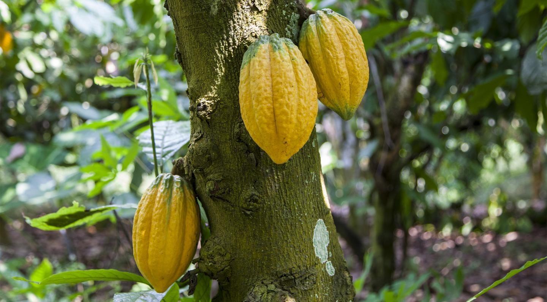Kakaofrüchte am Baum
